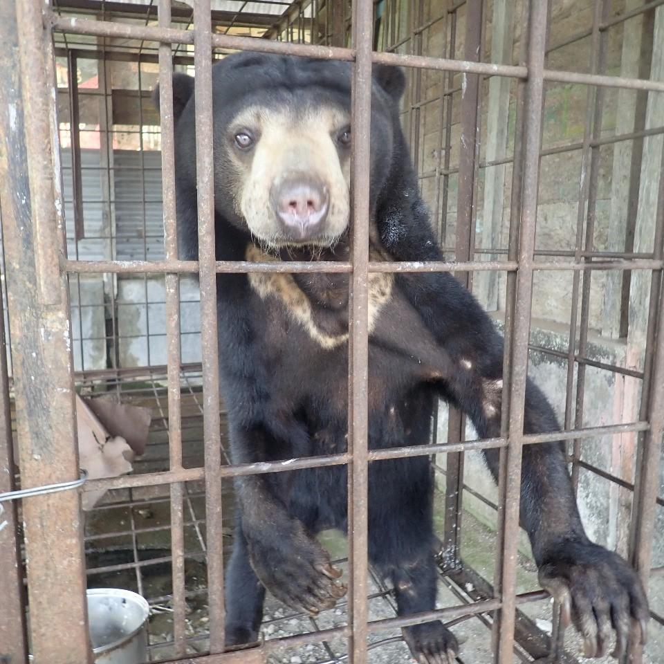 Evacuation of a sun bear in Tarutung, Sumatra (May 21, 2021)