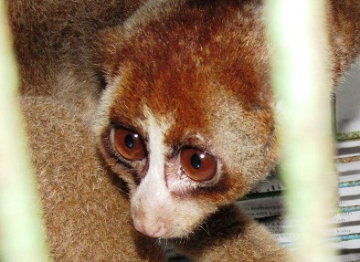 Release of a Slow Loris in Sibolangit Forest (March 31, 2017)