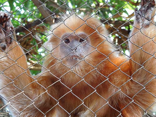 MoEF's Law Enforcement Agency Confiscates Four Protected Apes From an Illegal Owner in Jakarta (August 11, 2017)