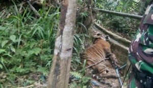 """A Critically Endangered Tiger """"Trapped"""" in Sumatra (July 10, 2017)"""