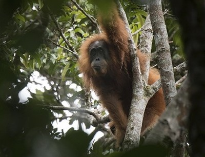 Newly Discovered Great Ape Species in Danger of Going Extinct (November 3, 2017)