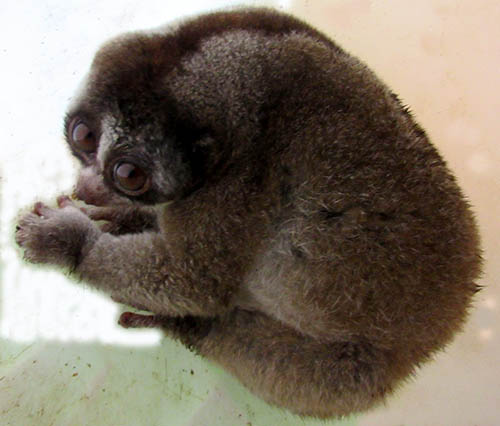 A Slow Loris Prevented from Illegal Trade (October 27, 2017)
