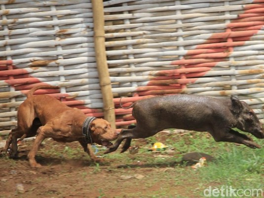 Police Closes Down Dog-Wild Boar  Fight in Pacet,  Bandung, West Java (October 25, 2017)