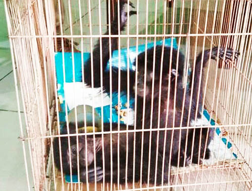 A New Hope for Two Siamang Gibbons Back in the Wild Habitat (October 28, 2017)