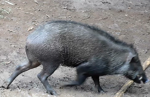 Scorpion Insists West Java Governor to Ban Dog-Wild Boar Fighting