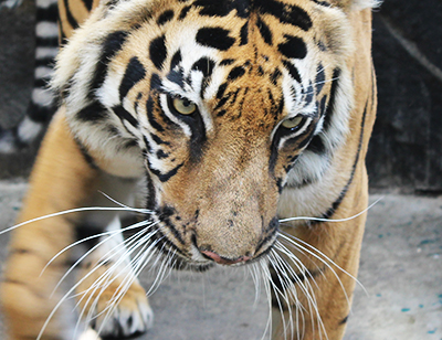 World Tiger Day will be celebrated in Medan