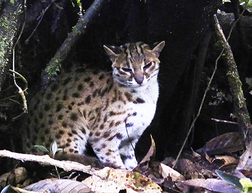 A leopard cat is released back in wild habitat