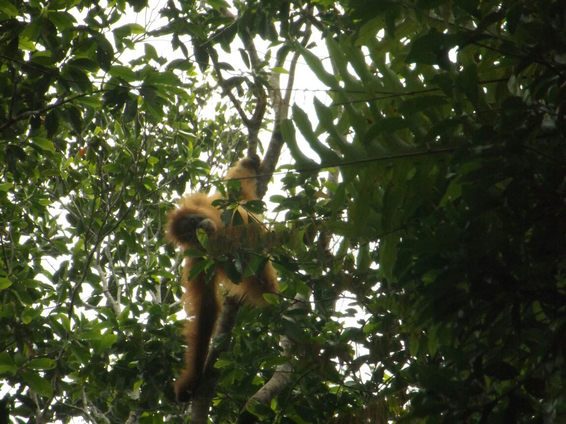 Outreach Activity for Protection of Tapanuli orangutan