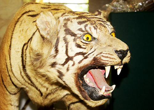 MoEF destroys 14 sheets of tiger skins (April 30, 2018)