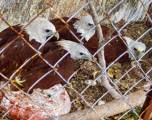 Four Brahminy kites (Haliastur indus) Will Get the Second Chance to live in their wild habitat in Sumatra (September 18, 2019)