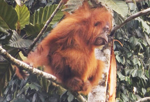 Habitat of Tapanuli Orangutan is Destroyed by Unknown People (July 22, 2019)