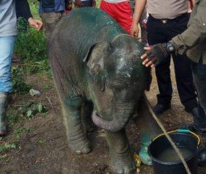 A Young Elephant is Illegally Snared and Injured in East Aceh, Sumatra (June 19, 2019)