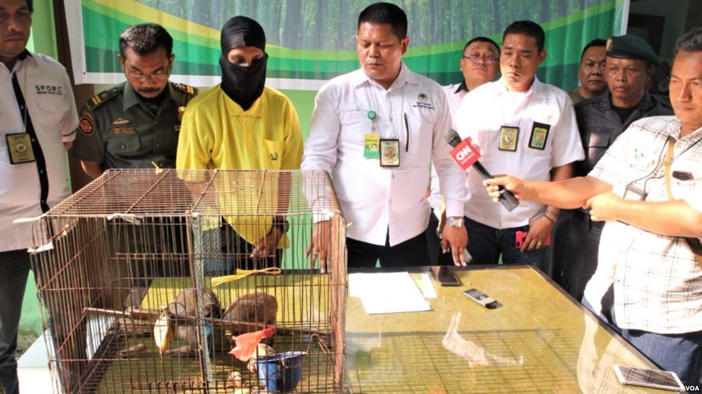 A Wildlife Trader was Sentenced to Two Years in Prison in Sumatra (January 23, 2019)