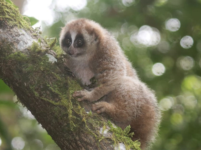 A Female Slow Loris  is Released Back in the Wild (April 06, 2020)