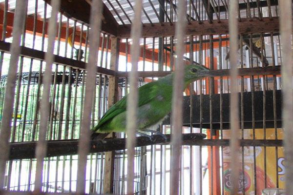 Allegedly Illegal Song Birds On Sale in Aek Pining, Batangtoru (April 25, 2020)