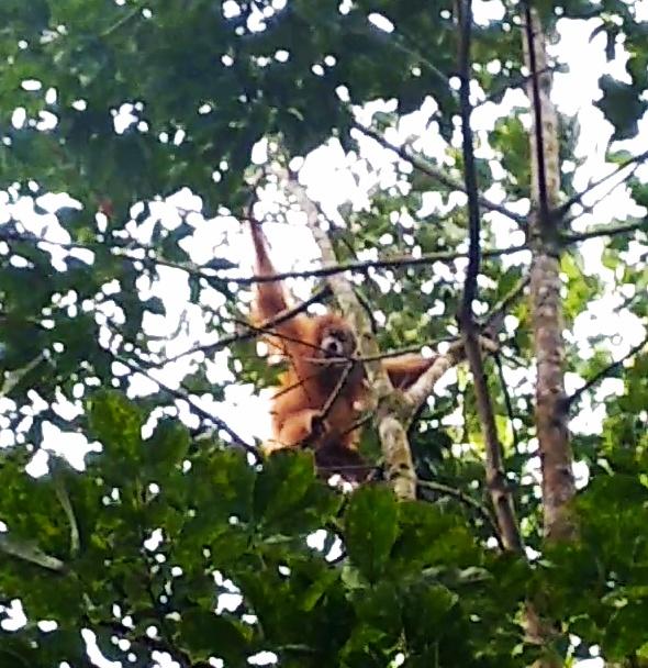 Encounters of the rarest great ape Tapanuli orangutan (Pongo tapanuliensis) in  Aek Nabara (July 08, 2020)
