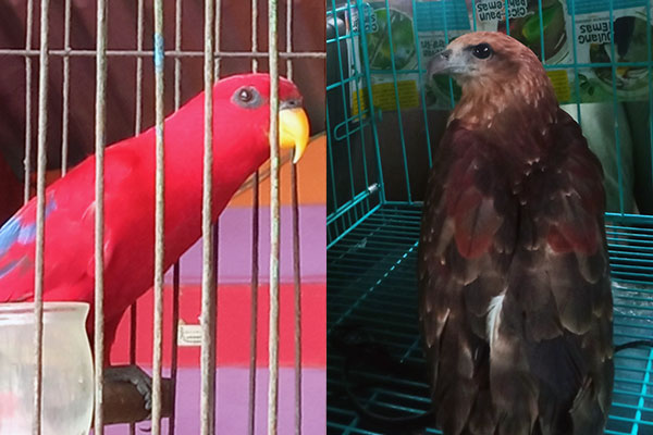 Hand Over of Moluccan Parrot and Hawk Eagle in Batang Toru (September 22, 2020)