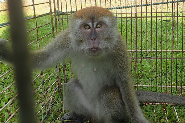 Capturing a Long-tailed Macaque by Cage Trap in Polonia Medan, Sumatra (September 23, 2020)