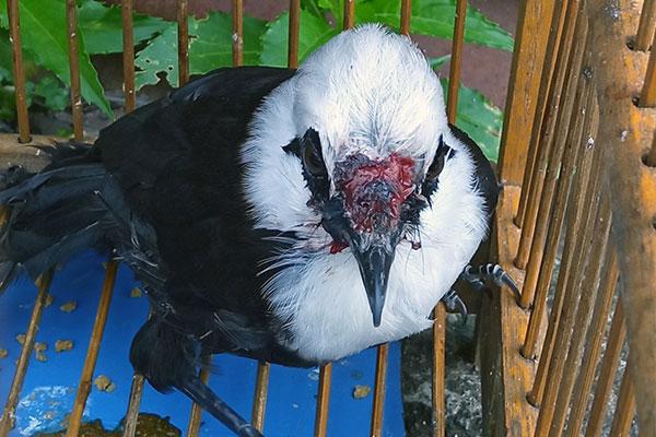 Illegal Keeping of Four Endemic Songbirds in Batang Toru Ecosystem, Sumatra (September 24, 2020)