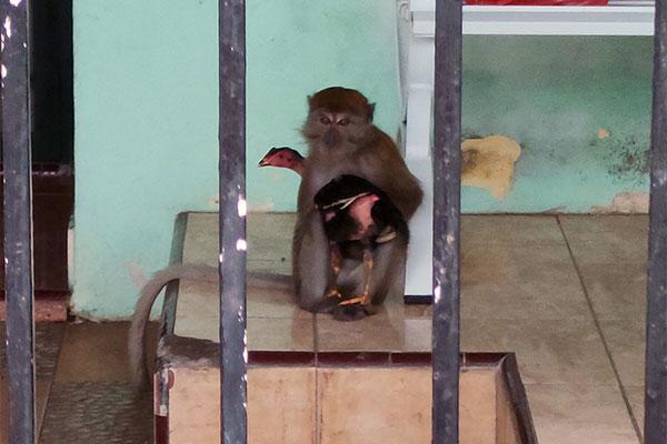 Macaque conflict in Medan Selayang, Sumatra (July 09, 2021)