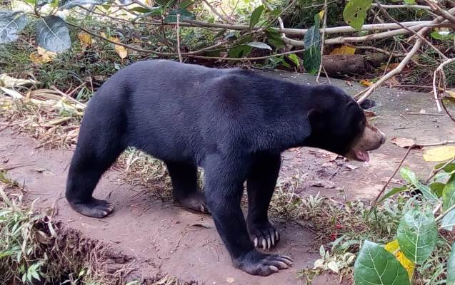 The Exploitation of Sun Bears at POD Chocolate Factory in Bali has Finally Ended! (January 26, 2019)