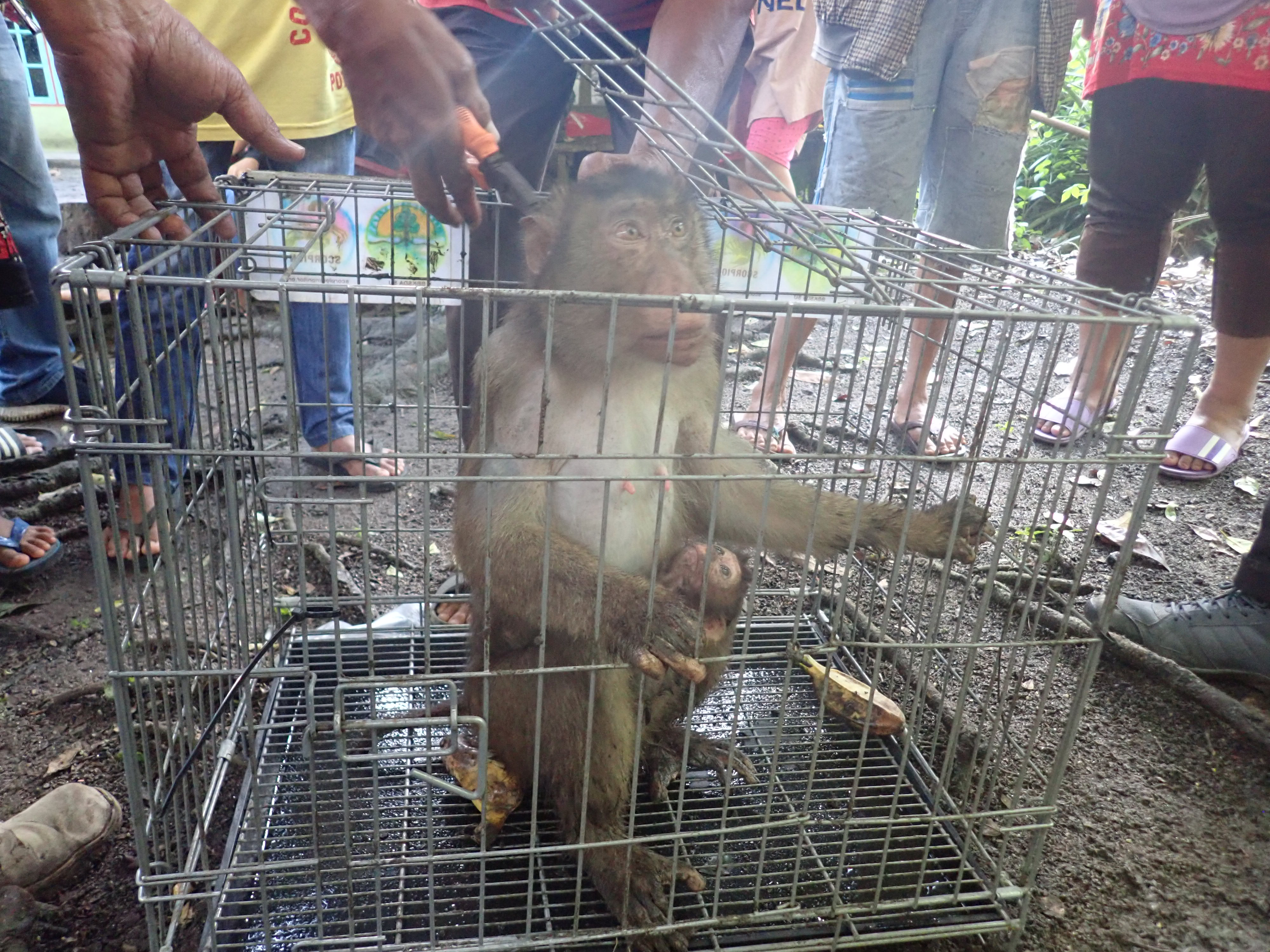 Evacuation of three pig-tail macaques in Simalungun, Sumatera (April 27, 2020)