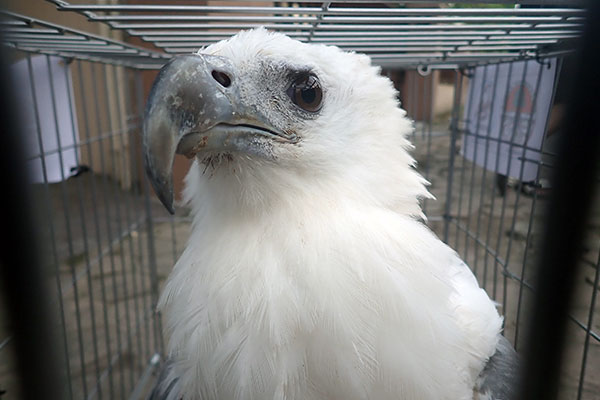 A White-bellied Sea Eagle is Successfully Rescued from Griya Family Complex, Medan (September 21, 2020)